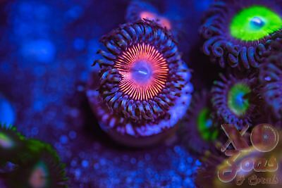 Goochsters Palythoa Zoas Zoanthids 1 Polyp Soft Coral Marine Frag High End