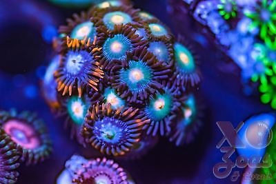 Gorilla Nipple Fire and Ice Combo Mix Zoas Zoanthids 17 Polyp Frag Soft Marine C
