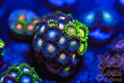 King Midas Combo Mix Zoas Zoanthids 25p+ Coral Frag Marine High End Soft Zoanthu