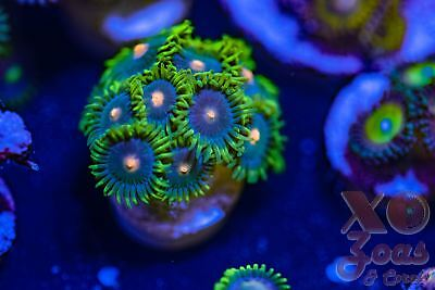 Dark Harvest Zoas Zoanthids 11p Coral Frag Marine High End Soft