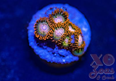 XO Rapture Zoas Zoanthids 6 Polyp Soft Coral Marine Frag High End Zoanthus
