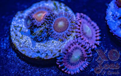 Mohawk Playboy Bunnies Combo Zoas Zoanthids 4 Polyp Frag Soft Marine Coral Zoant