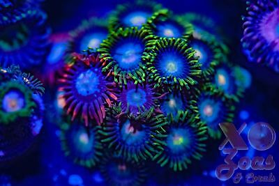 Mixed Combo Zoas Zoanthids 18 Polyp Frag Soft Marine Coral Zoanthus