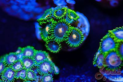 Dark Harvest Zoas Zoanthids 8p Coral Frag Marine High End Soft