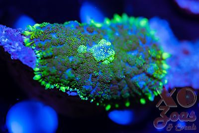 XO Neon Reactor Bullseye Rhodactis Ultra Mushroom Coral Shroom Frag High End Cor