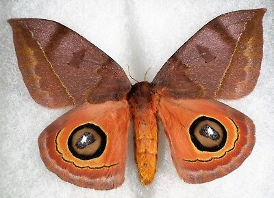"""Insect/Moth/ Moth ssp. - Female 4"""""""