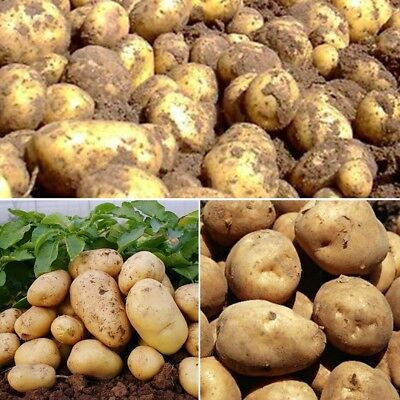 100PCS Potato Seed Home Garden Semi-evergreen Fresh Vegetables Food Plants Seeds