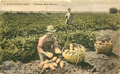 Deming New Mexico, Sweet Potato Patch, Farming , Fred Harvey Postcard