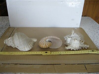 Lotto Di 3 Conchiglie Sea Shell