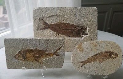 3 Two Knightia Eocaena Fossil Fish Green River Eocene Age Free Stands