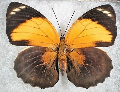 Insect/Butterfly/ Agrias pericles mauensis - Female 3""
