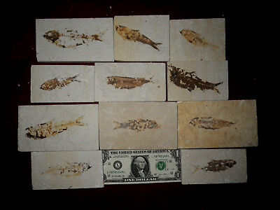 lot of 11 fossil fish