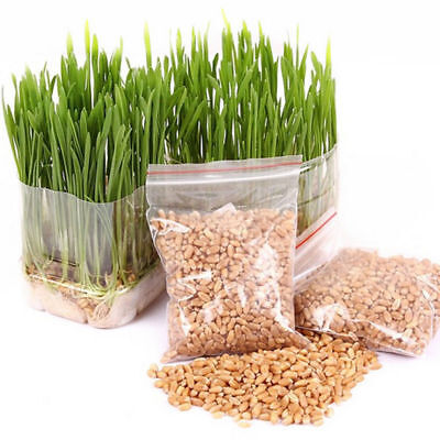 1Bag Harvested Cat Grass 1oz approx 800 Seeds Organic Including Guiding Lots HI