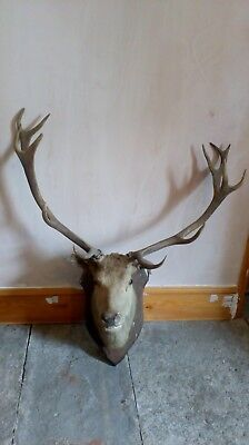antique very large taxidermy stags head deer wall mounted oak shield 12 point