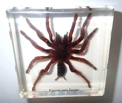 Funnel-web TARANTULA Spider in 75 mm square Amber Clear Block Name embedded