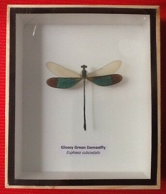 Real Glossy Green Damselfly Dragonfly Taxidermy Insect Shadow Box Entomology
