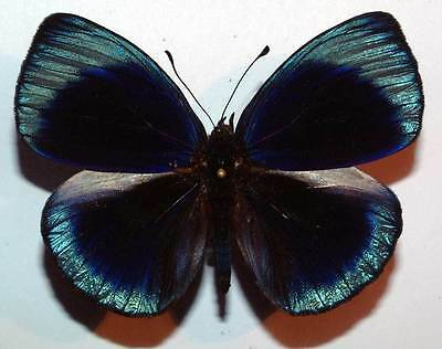 ASTEROPE (CALLITHEA) OPTIMA SSP - unmounted butterfly