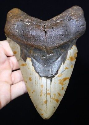 AUTHENTIC MEGALODON SHARK Tooth 5 41