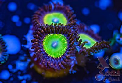 Candy Apple Red Palythoa Zoas Zoanthids 3 Polyp Soft Coral Marine Frag High End