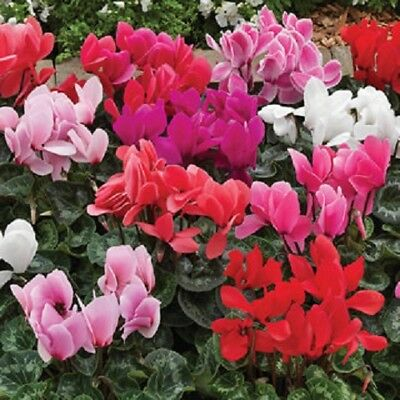 15 Cyclamen Seeds Sierra Mix 925 Picclick