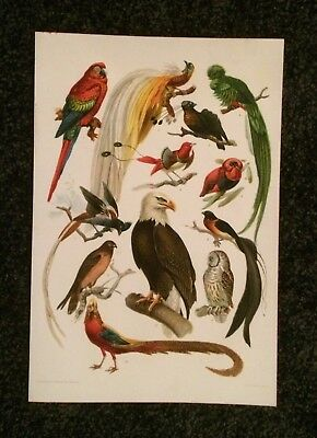 Vintage Original Print, Birds, Copyright 1896 by F.E. Wright - Stunning Color