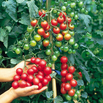 Vegetable Tomato Sweet Million 20 seeds #5034