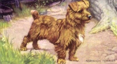 DOG Norfolk Terrier, 70-year-old Trading Card, 1930s