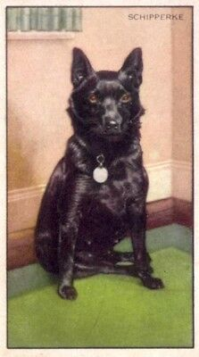 DOG Schipperke, 70-year-old Trading Card, 1930s