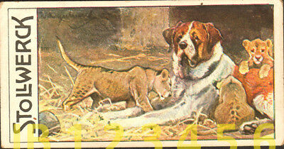 DOG St. Bernard is Nanny to Lion Cubs, Antique 1890s Trading Card