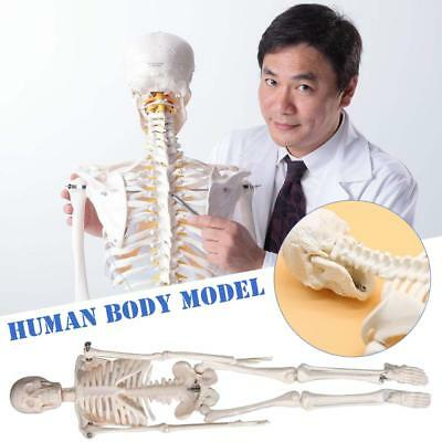 Human Full Body Rotatable Skeleton Stand Bones Medical Anatomy Science Teach