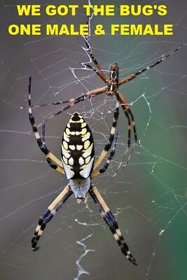 2 Real  Black and Yellow Garden Spiders Male & Female WET Specimen