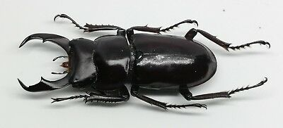 lucanidae dorcus wardi 41.67mm giant A1 very rare Tibet