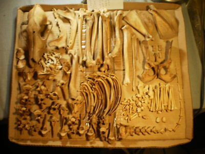 Taxidermy skeleton real coyote  dissarticulated clean sorted by bone type male