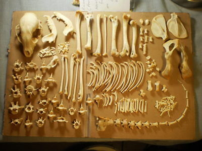 Taxidermy skeleton real Raccoon dissarticulated clean sorted by bone type female