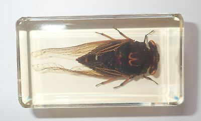 Black Cicada in 73x40x20 mm Amber Clear Block Education Insect Specimen