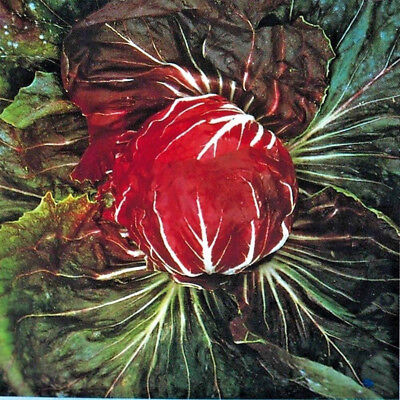 Vegetable Radicchio Palla Rossa 3 CHICORY Min 450 seeds #5052