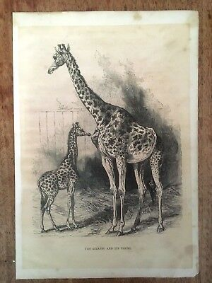 """Genuine Victorian Antique Print """"the Giraffe And Its Young"""""""