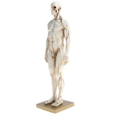 Male Superficial Muscular System Anatomical Figure Human Anatomy Model White