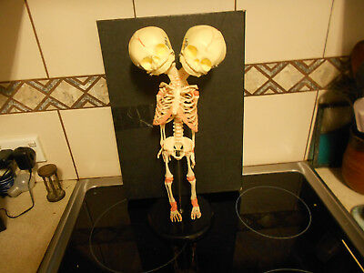 2 headed baby foetus skeleton replica weird stuff freak side show skull