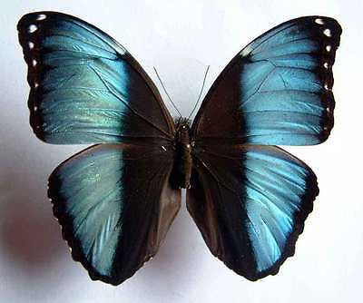MORPHO ACHILLES AGAMEDES - unmounted butterfly