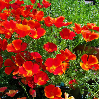 Red Chief Poppy Seeds, Red Chief Poppies, Bulk Flower Seed, Wildflowers 500ct