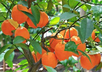 Tangerine Mandarin Citrus Fruit Tree 5 Seeds