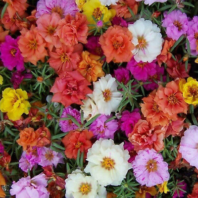 Flower - Portulaca Grandiflora Double Mix - appx 3000 seeds - Moss Rose - #5108
