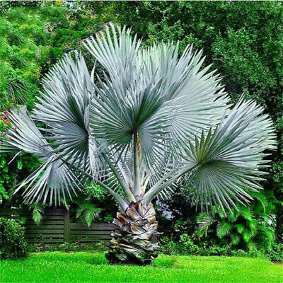 20 Pcs Perennial Plant Palm Seeds Tropical Cycas Seed Garden Rare Tree Seed