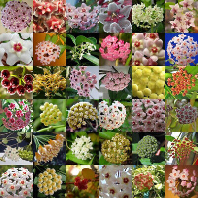 300Pcs Mixed Color Flower Hoya Seeds Ball Orchid Home Garden Yard Decor Palnts