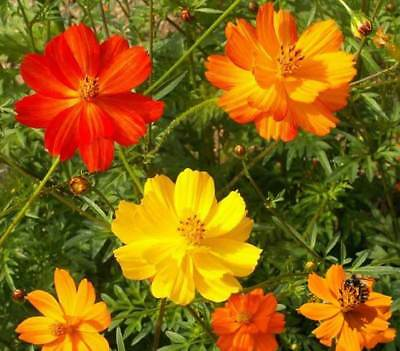Sulphur Cosmos Mix Seeds by Zellajake Many Sizes Bright Orange Yellow #238