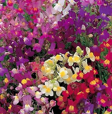 Toadflax Fairy Mix Spurred Snapdragon Seeds Zellajake Pink Yellow Red Purple 107