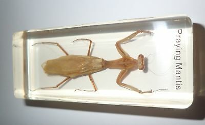 Praying Mantis in 11x43x20 mm Amber Clear Block Name Embedded Insect Specimen
