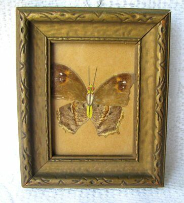 Antique Victorian Pressed Moth or Butterfly in Original Antique Frame c.1800s