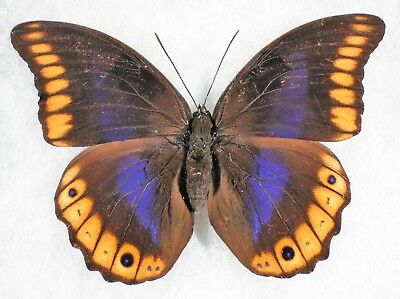 Insect/Butterfly/ Prepona brooksiana - Female 4 1/4""